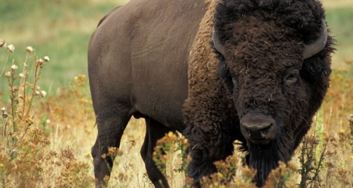 Here is a bison