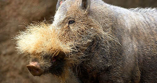 Here is a Bornean Bearded Pig