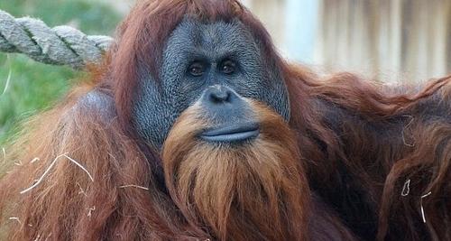 Here is a Sumatran Orang-utan