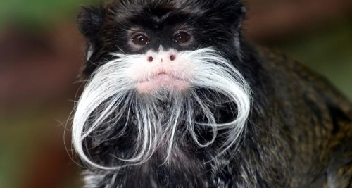 Here is an Emperor Tamarin