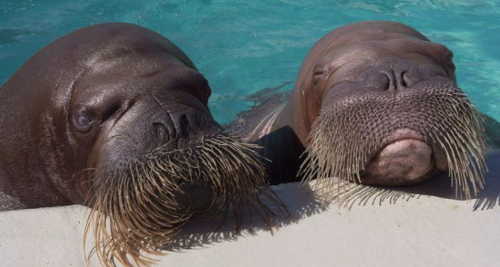 Here are two walrus in pool